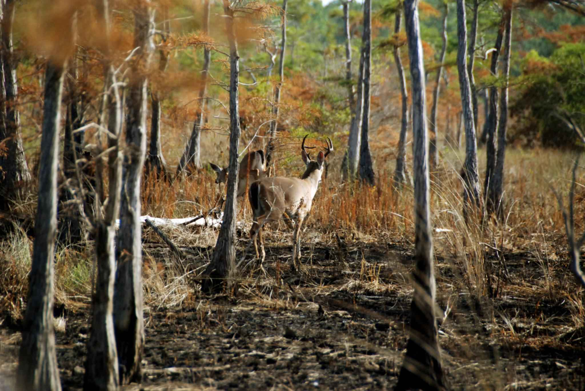 Fall Hunting Wallpaper Rare Whitetail Deer Subspecies Bounces Back From The Brink