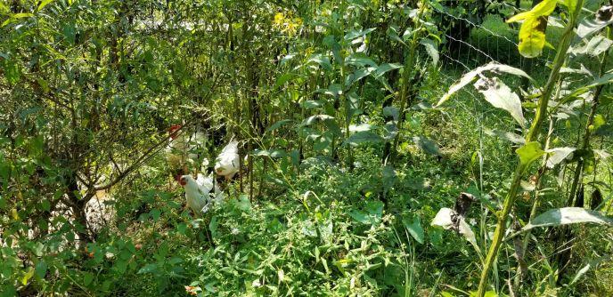 ChickensZoom2.jpg