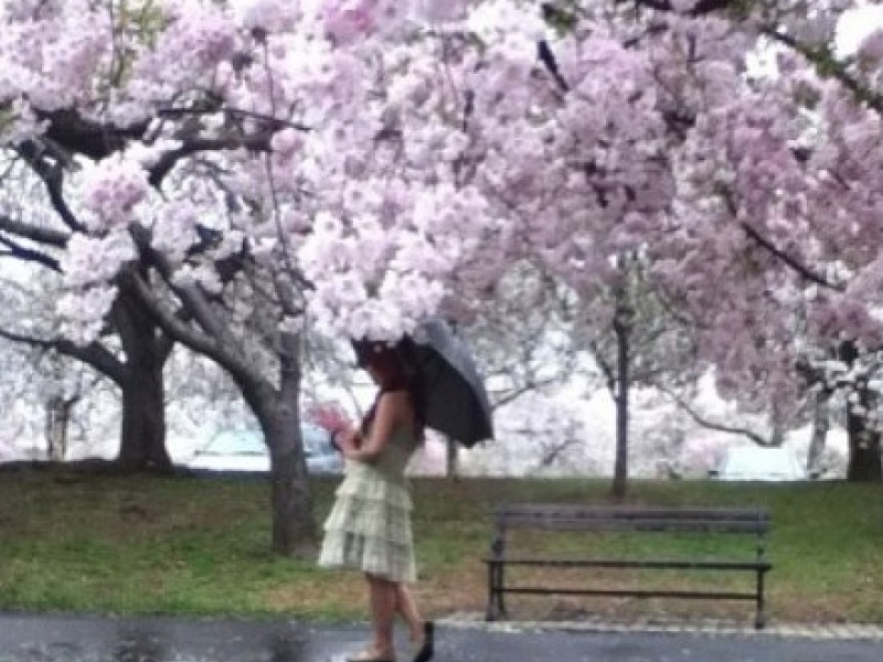 Essex County Cherry Blossom Festival 2016 Will Feature