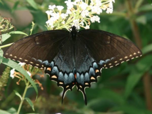 A Guide to Georgia Butterflies  Lilburn GA Patch