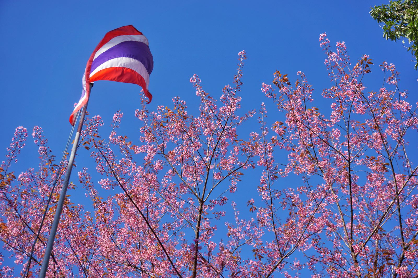 SAKURA IN Northern Thailand