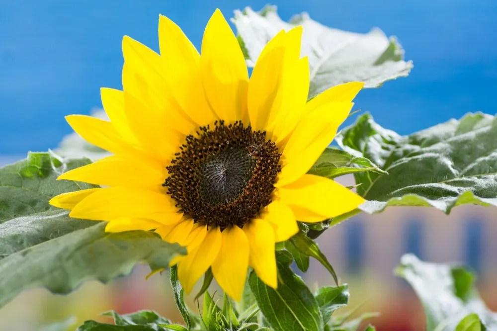 Sonnenblumen  Helianthus gnstig online kaufen