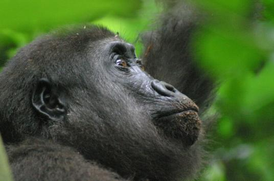 Western lowland gorilla. Credit: Thomas Breuer/Wildlife Conservation Society/Max Planck Institute for Evolutionary Anthropology
