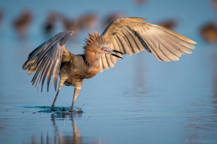 Reddish Egret - Nikon D500, 600mm f/4, ISO 320 1/2500s f/5.6