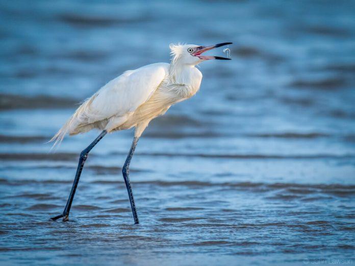 Reddish Egret (white morph) - Nikon D500, 600mm f/4, ISO 900 1/3200s f/5.6