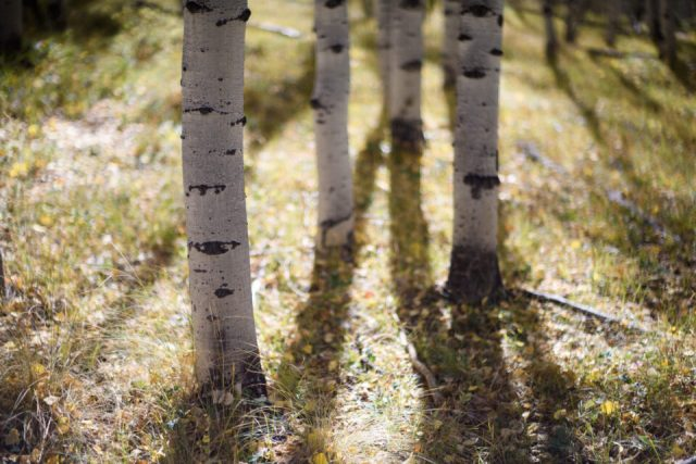 Aspen Trees and Shadows
