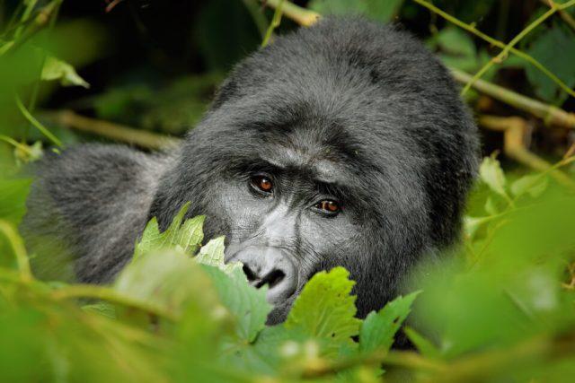 2. Mountain Gorilla, Uganda
