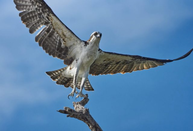 6. Osprey, Mexico
