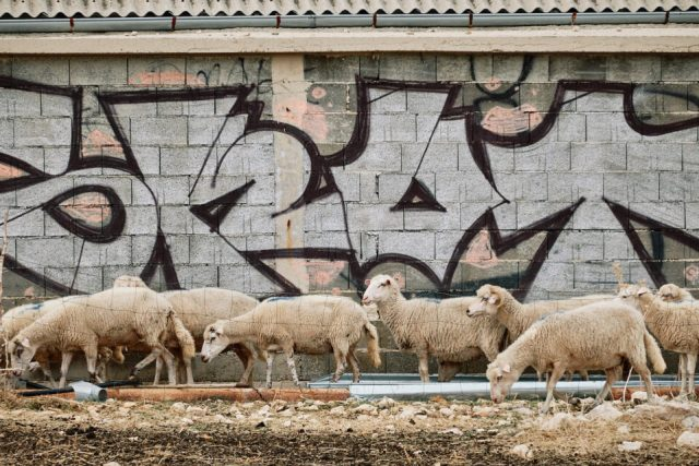 18. Sheep and Graffiti