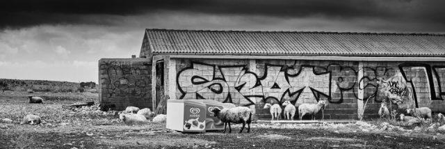 2. Sheep and Graffiti