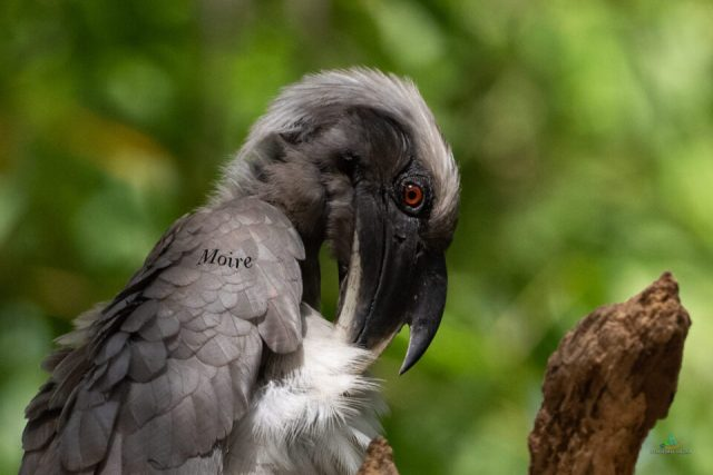Showing Moire on the feather patten of Grey Hornbill image. Cropped to show the moire without any processing.
