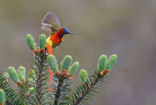 Fire tailed Sunbird (Male)