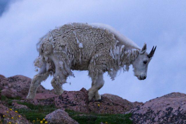 100% crop of Mount Evans Goat Photo
