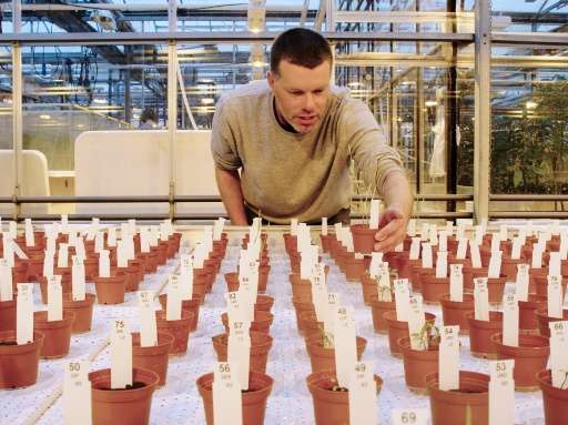 Researcher Wieger Wamelink inspects the plants grown on Mars and moon soil simulant in a research facility at the university in