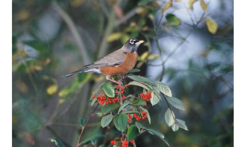 Phys.org caption: The American robin, a familiar species across much of continental USA, has declined in some southern states such as Mississippi and Louisiana, but increased in north-central states, such as the Dakotas. Credit: US Fish & Wildlife Service
