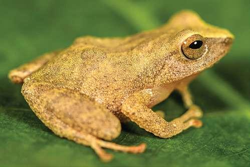 Sleeping beauty rain frog, photo Germán Chávez