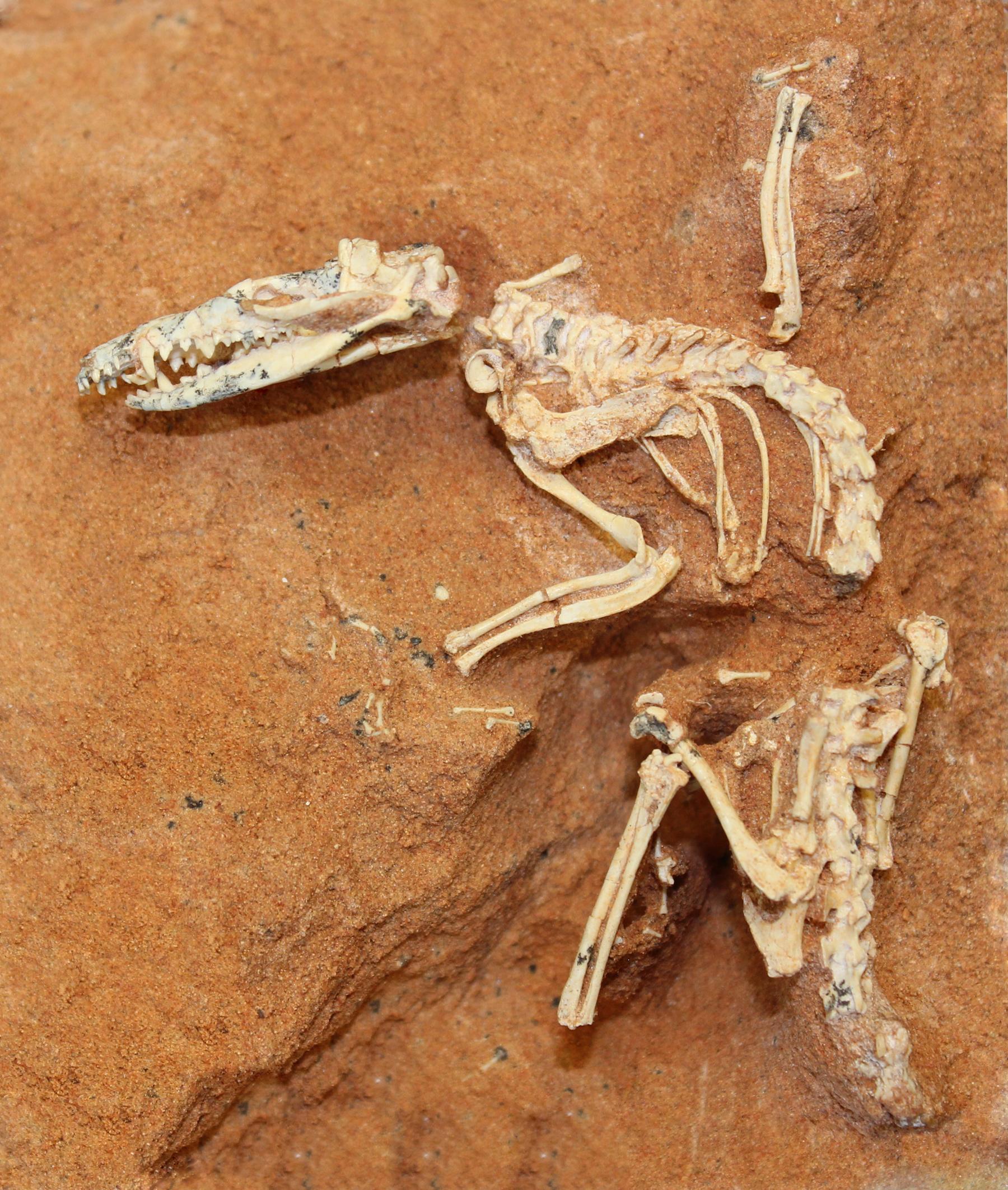 shrew skeleton diagram labeled garage door repair redondo beach geol431 vertebrate paleobiology