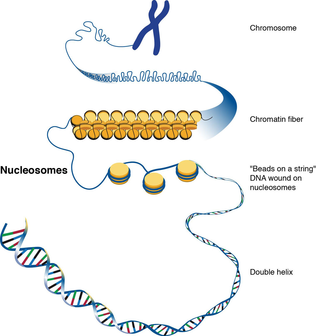 The Nucleus And Dna