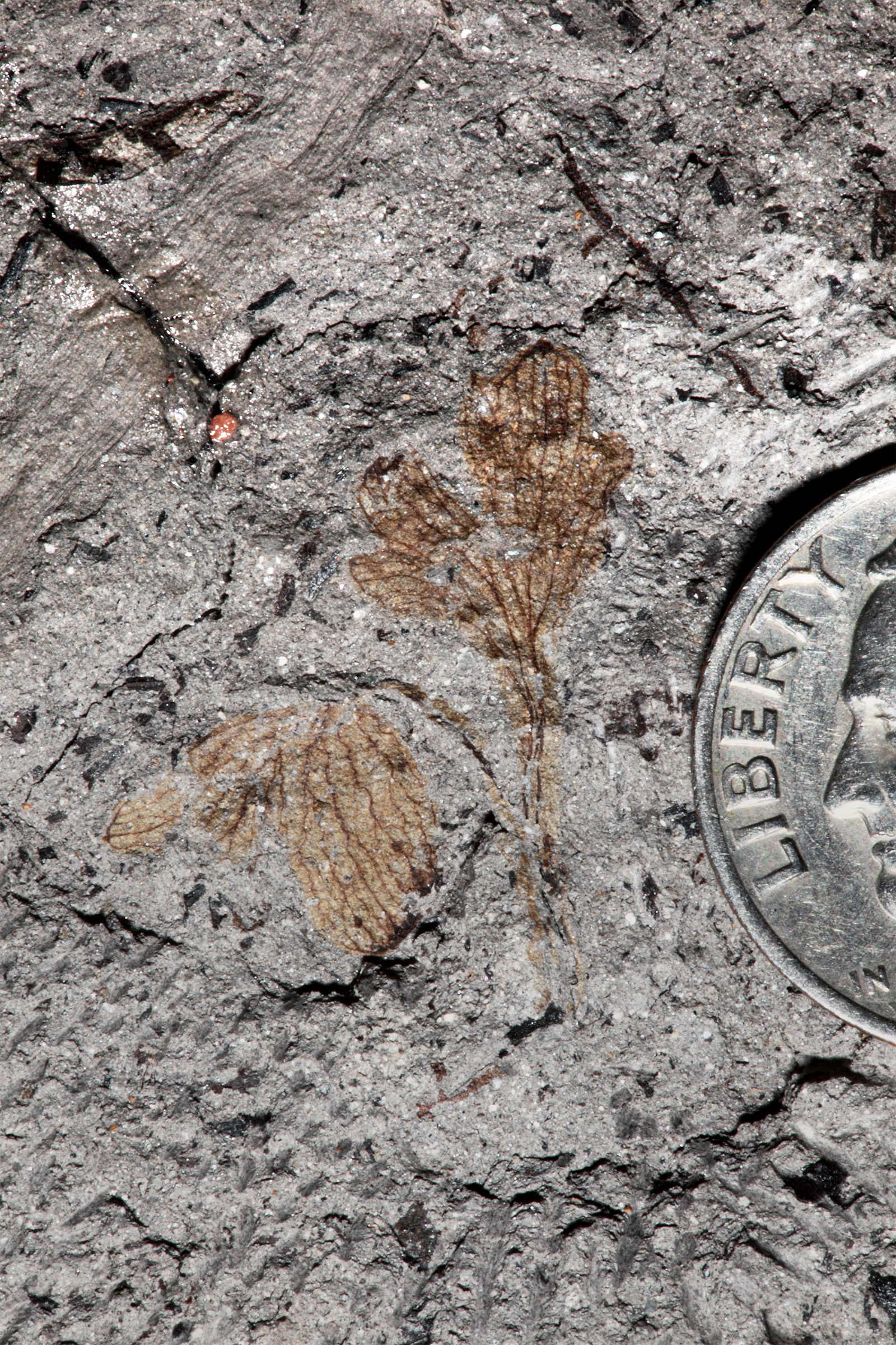 Evolution Civil War History Entwine In Plant Fossil With