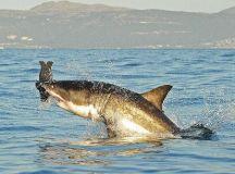 Great white sharks plentiful off US west coast