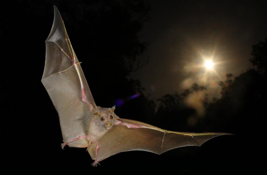 Non Echolocating Fruit Bats Actually Do Echolocate With