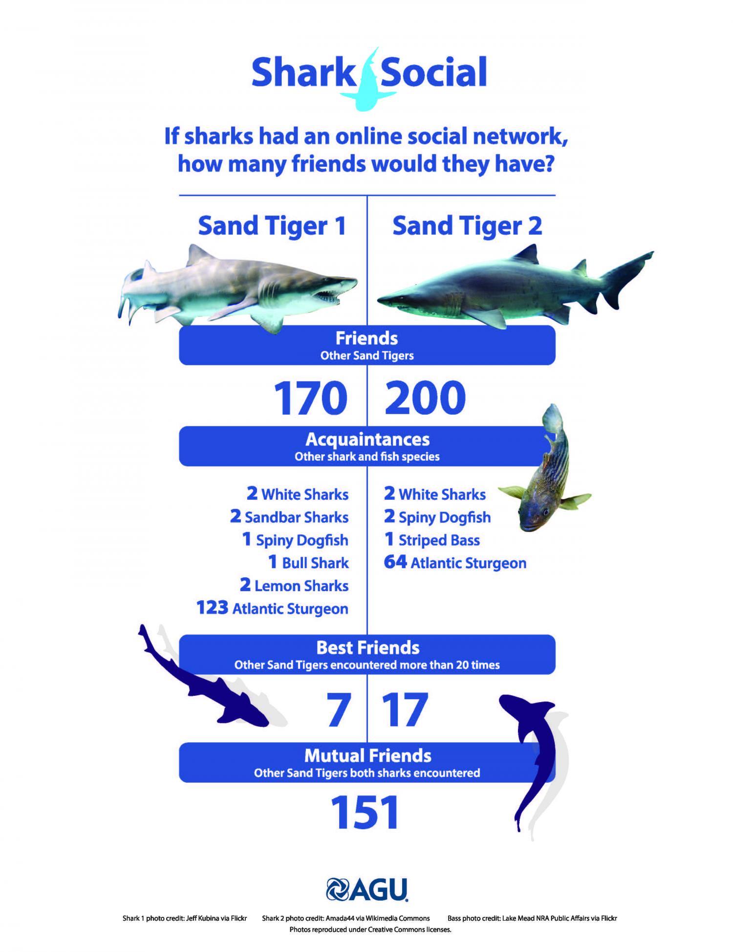 Sand tiger sharks' social networks