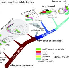 Human Mandible Diagram Emerson Motor Wiring Early Fossil Fish From China Shows Where Our Jaws Came