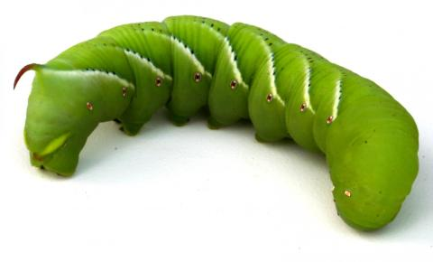 Hornworm genome sequenced