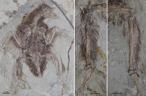 I primi uccelli aveva quattro ali, non due, le relazioni