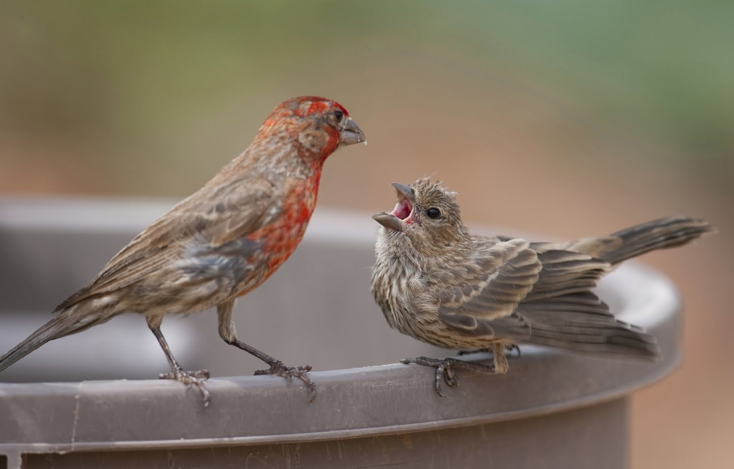 A baby house finch and its father. Just like humans, baby birds learn to vocalize by listening to adults. Credit: iStockphoto.com