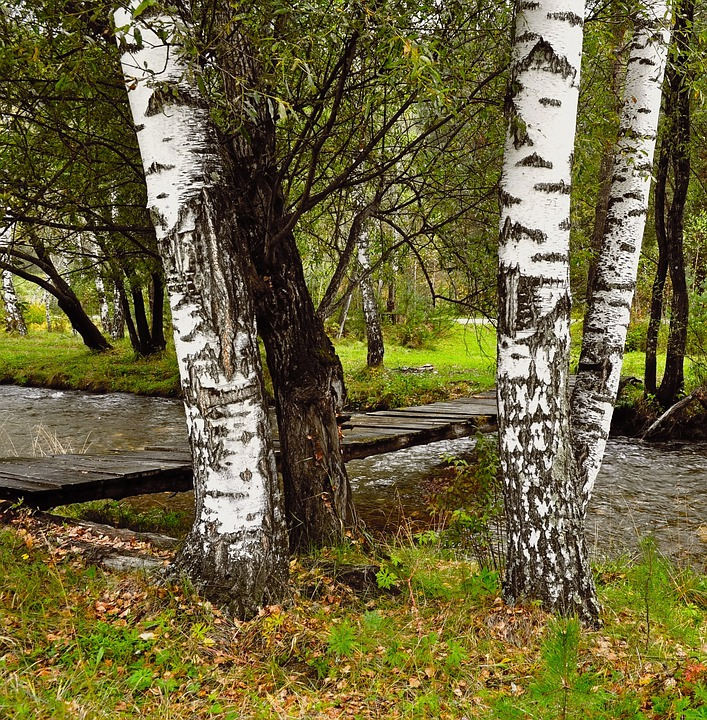 Web Wallpaper Hd Free Photo Birch Trees River Bridge Forest Free