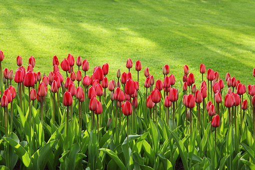 Tulips, Bloom, Blossom, Colorful