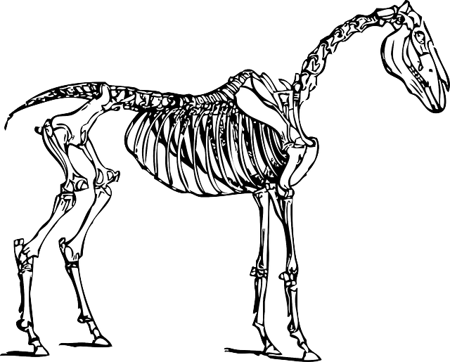 horse skeleton diagram blank muscular system face anatomy · free vector graphic on pixabay