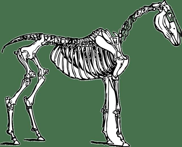 horse skeleton diagram blank simple guitar wiring diagrams anatomy · free vector graphic on pixabay