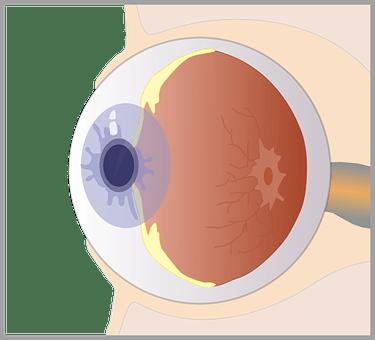 Unlabeled Blank Human Eye Diagram