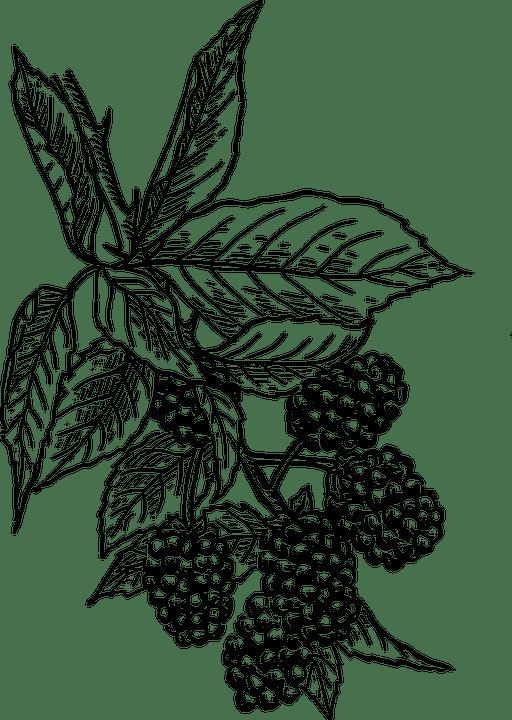 Free vector graphic: Blackberries, Vine, Bush, Fruit