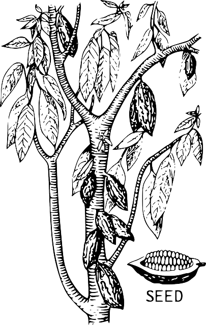 Cacao Tree Cocoa · Free vector graphic on Pixabay