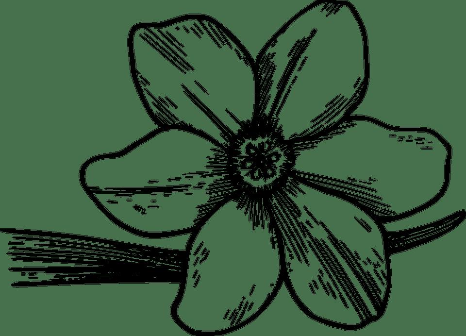 Dogwood Tree Flower Drawing