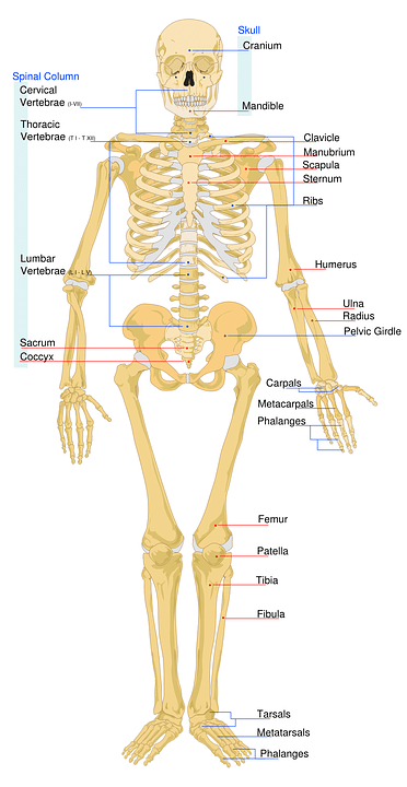 skeleton diagram labeled wiring for goodman ac unit skeletal worksheet free vector graphic on pixabay system medical
