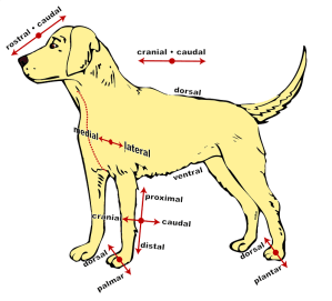 Dog Anatomical Diagram · Free vector graphic on Pixabay