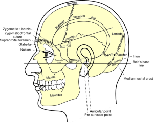 Free vector graphic: Skull, Diagram, Head, Human  Free