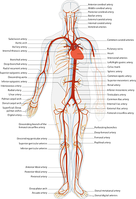 diagram of veins and arteries