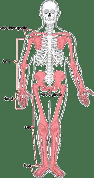 Skeleton Human Diagram · Free vector graphic on Pixabay