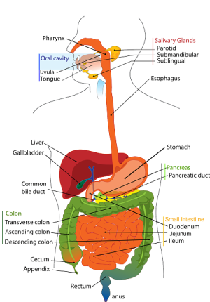 Digestive System Human · Free vector graphic on Pixabay
