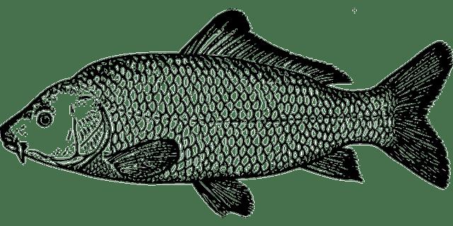 Free vector graphic: Fish, Carp, Species, Fins, Scale