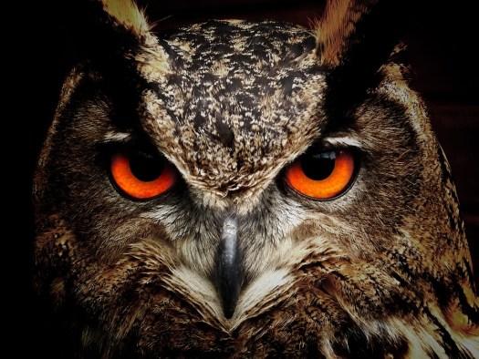 Gufo, Bird, Occhi, Gufo Reale, Uccelli, Vista, Animali