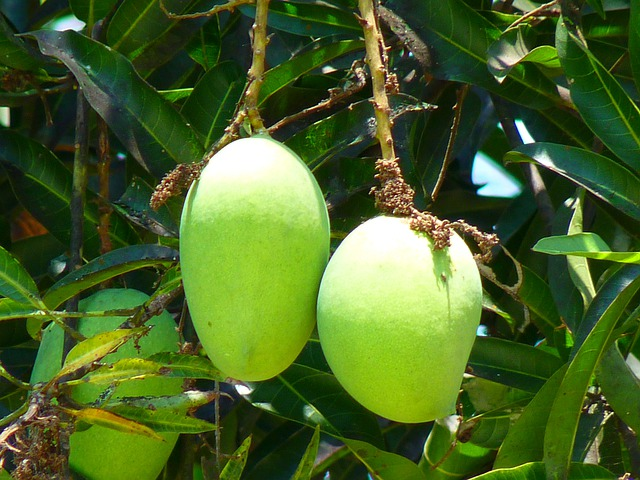 Mango Green Fruit  Free photo on Pixabay
