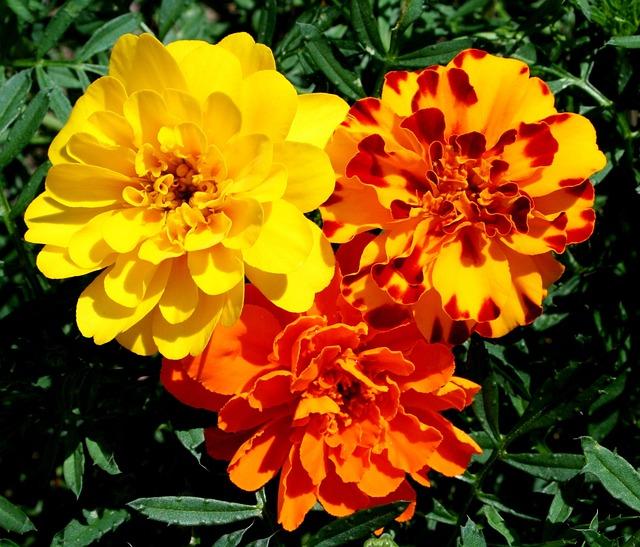 Marigolds Flowers Yellow Free Photo On Pixabay