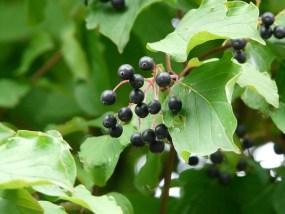 Rode Kornoelje, Kornoeljeboom, Bessen, Zwart, Vruchten