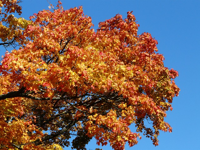 Free Photo Autumn Tree Maple Coloring Red Free Image